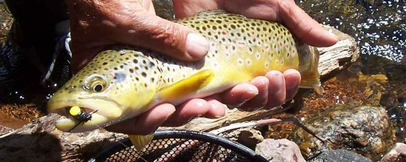 trout-with-fly