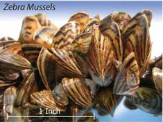 Quagga and Zebra Mussels Close in on New Mexico