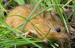 Meadow Jumping Mouse Plan Locks Out Anglers
