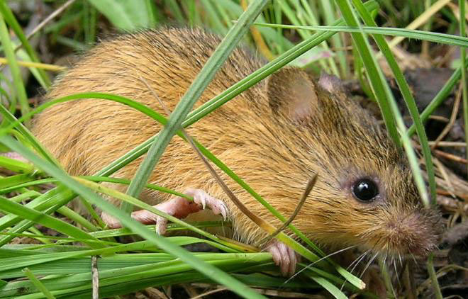 NMT Withdraws Meadow Jumping Mouse Objections
