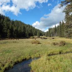 Trespass Cattle Degrading Streams on the Valles Caldera National Preserve
