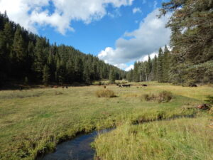 Trespass Cattle Degrading Streams on the Valles Caldera National Preserve