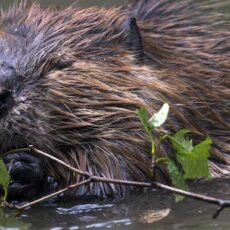 On-Line Workshop on Beavers as Mother Nature's Environmental Engineers
